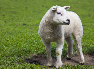 young sheep with green grass