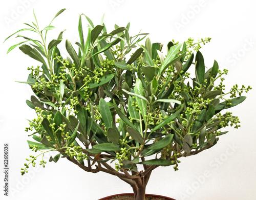 jeune olivier en pot de didier doceux photo libre de droits 22686836 sur. Black Bedroom Furniture Sets. Home Design Ideas