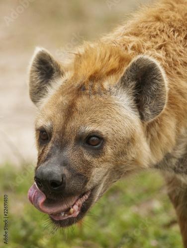 Fotobehang Hyena Hyena Eating