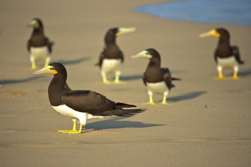 group of funny brown bobbies looking around together beach