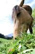 pferd geniest sommer