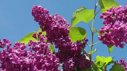 Syringa Flowers - Video - Flieder Blüten
