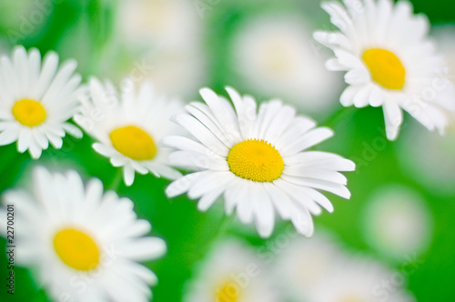 chamomile in green grass