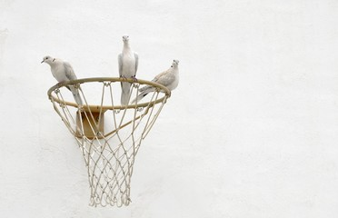 Three Doves Sharing a Basketball Net Hoop