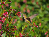 Flying; Hummingbird