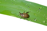 Beetle chafer on grass-blade 3 poster