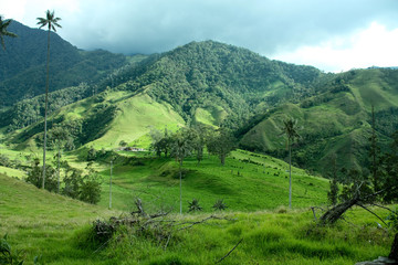 Cocora valley and the wax palms. Quindio. Andes. Colombia.