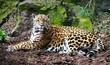 Jaguar lying in the sun looking at camera