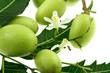 fruits azadirachta indica, lilas des Indes, neem sur fond blanc
