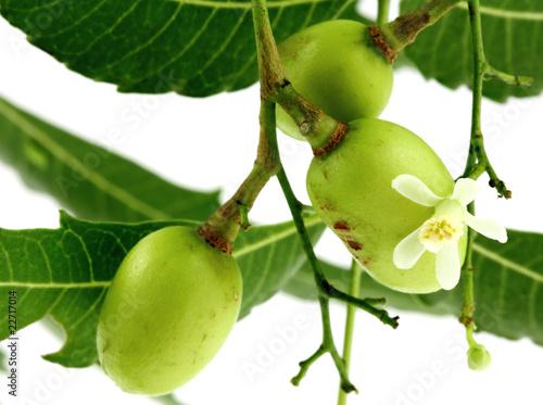 lilas des Indes, neem, plante médicinale, fruits fleur feuilles