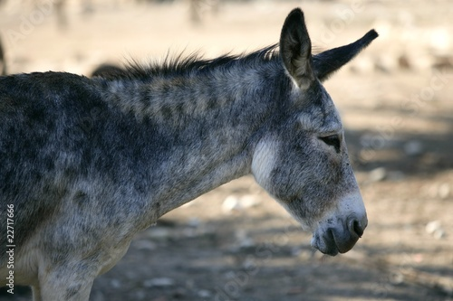 Donkey profile side view portrait in gray  color
