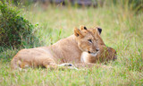 Two Lion cubs (panthera leo) in savannah