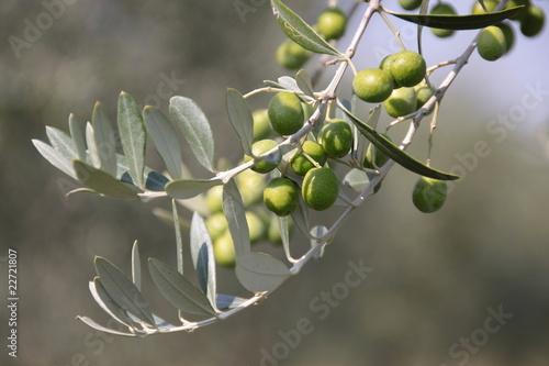 Foto op Plexiglas Olijfboom Grüne Olven am Baum