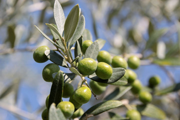 Grüne Oliven am Baum