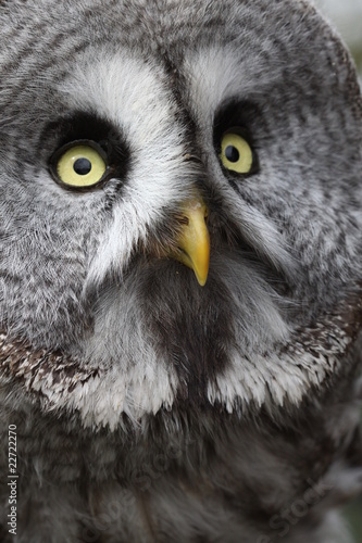 Great Grey Owl 4