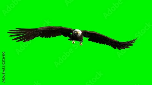 american bald eagle hunting flying chroma key green