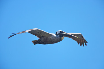 Brown pelican flying on californian coast