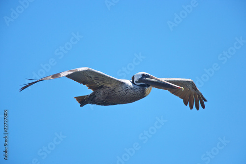 Brown pelican flying on californian coast