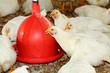 élevage de poules blanches