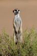 Alert Alert meerkat, South Africa