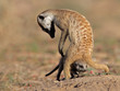 Meerkat with curious baby, Kalahari desert, South Africa