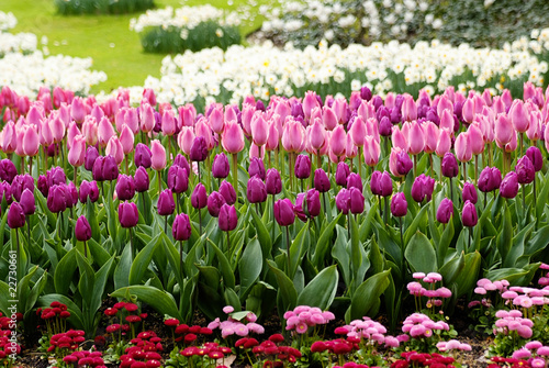 Pink tulips and flowers in a field