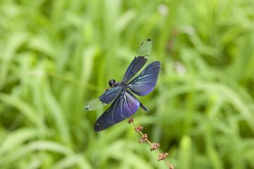 羽が綺麗な蝶トンボ
