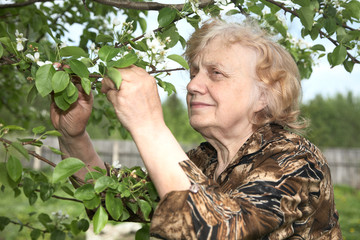 The old woman considers pear flowers
