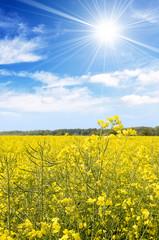 Field of oilseed rape