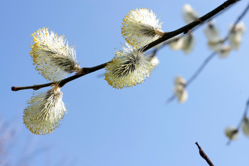 Branch of a willow against the blue sky