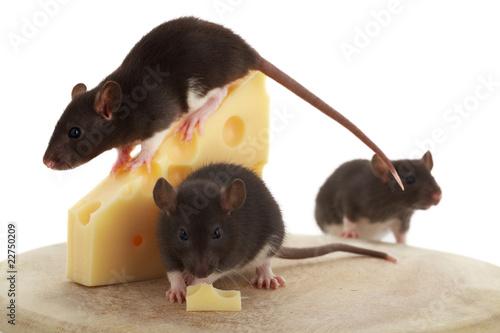 Mehrere Mäuse um einen Käse auf einem Holzteller