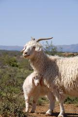 Adult Angora with lamb.
