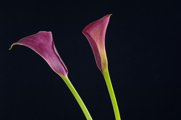 two vibrant mini calla lilies