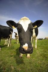 vache de bretagne