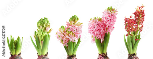Growing hyacinth