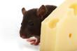 Ratte sitzt auf einem Holzteller und frisst einen Käse