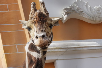 animal giraffe in Moscow Zoo