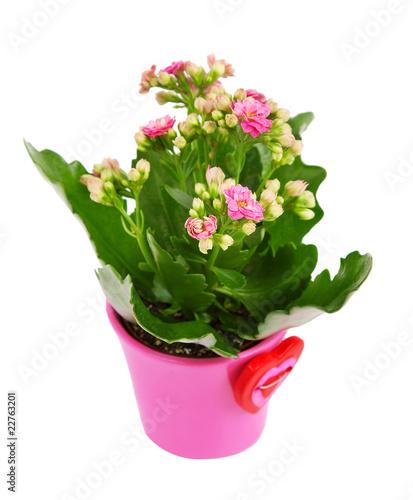 Foto op Canvas Lilac Kalanchoe flower in pot .