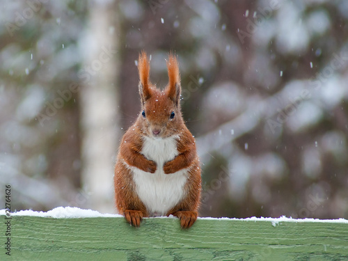 Tuinposter Eekhoorn Red Squirrel sitting on a green fence looking cute while it snows
