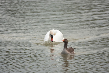 Male swan threateningly approaches greylag goose