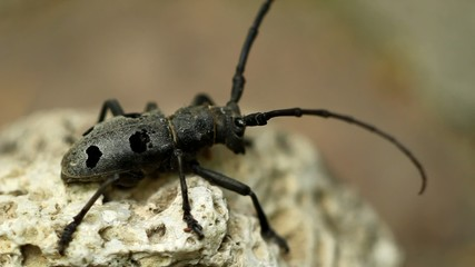 Beetle Rosalia