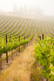Beautiful Lush Grape Vineyard - Fine Art prints