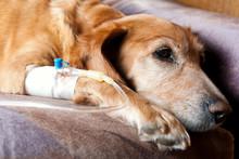 Hund liegt auf dem Bett mit Kanüle in der Vene unter Infusion
