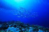 Fototapete Thunfisch - Sardine - Fische