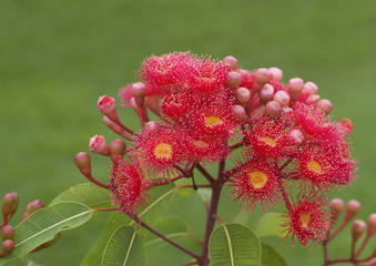 red flowers eucalyptus summer red australian native