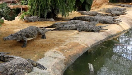 Un crocodile de passage