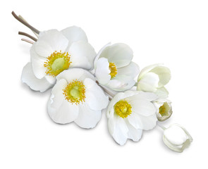 anemone_white_flowers_isolated