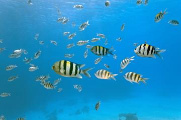Shoal of sergeant fish
