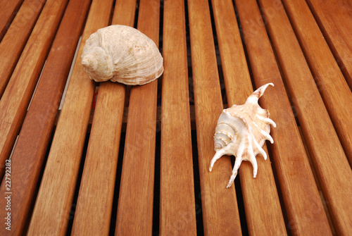 Sea shell with  reflection against braun background