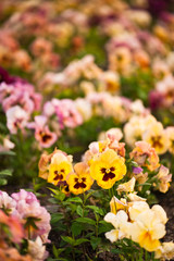 Pansy flowers on multicolored flower bed  in soft focus